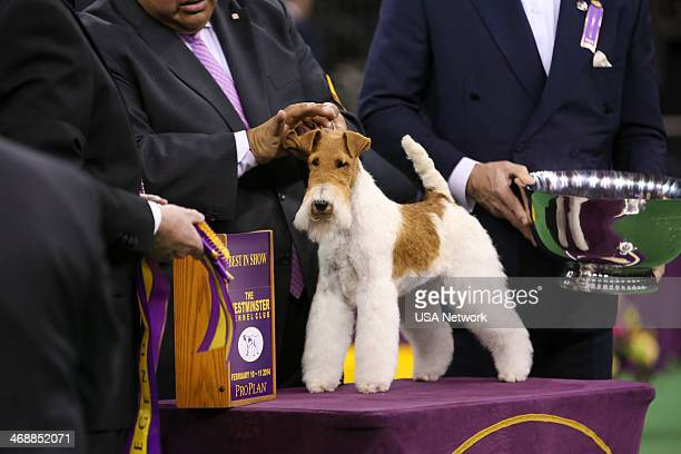"""The 138th Annual Westminster Kennel Club Dog Show"""" -- Pictured: Best In Show winner, Afterall Painting The Sky the Wire Fox Terrier at Madison Square..."""
