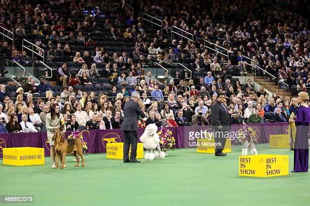 SHOW The 138th Annual Westminster Kennel Club Dog Show Pictured Bloodhound Standard Poodle Wire Fox Terrier at Madison Square Garden in New York City...