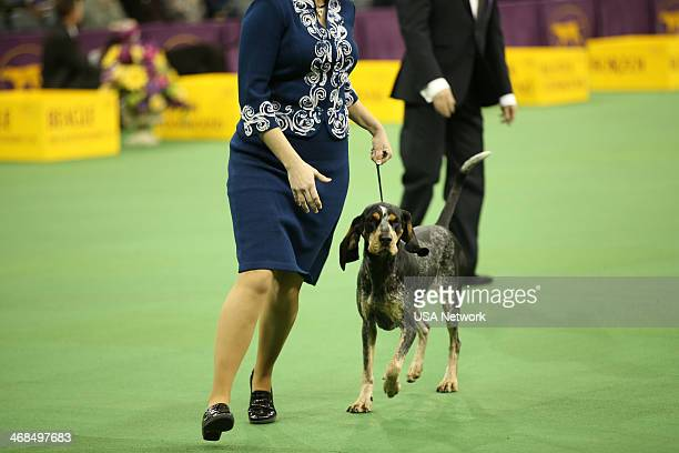 SHOW The 138th Annual Westminster Kennel Club Dog Show Pictured Bluetick Coonhound at Madison Square Garden in New York City on Monday February 10...