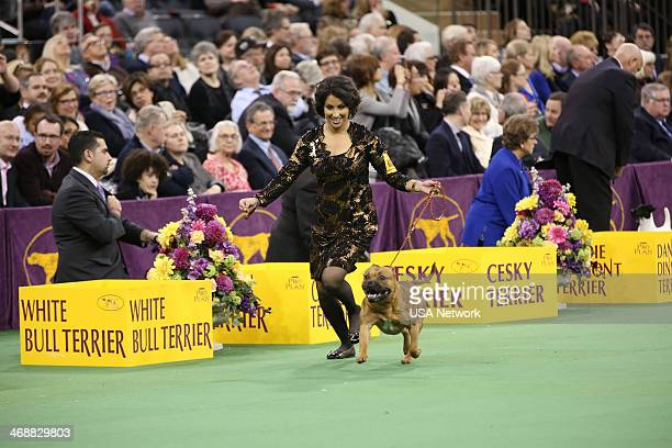 SHOW 'The 138th Annual Westminster Kennel Club Dog Show' Pictured Staffordshire Bull Terrier at Madison Square Garden in New York City on Monday...