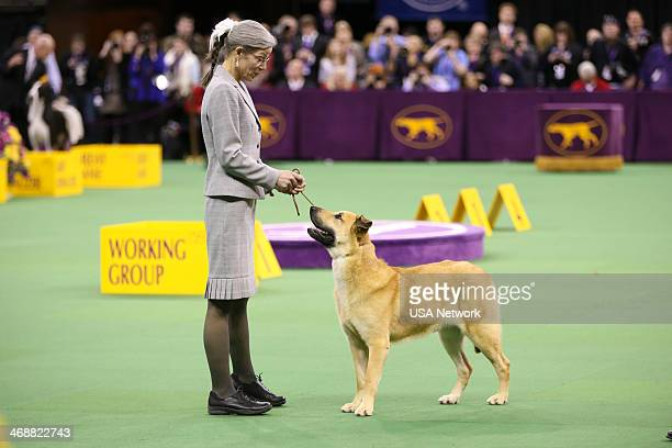 SHOW The 138th Annual Westminster Kennel Club Dog Show Pictured Chinook at Madison Square Garden in New York City on Monday February 11 2014