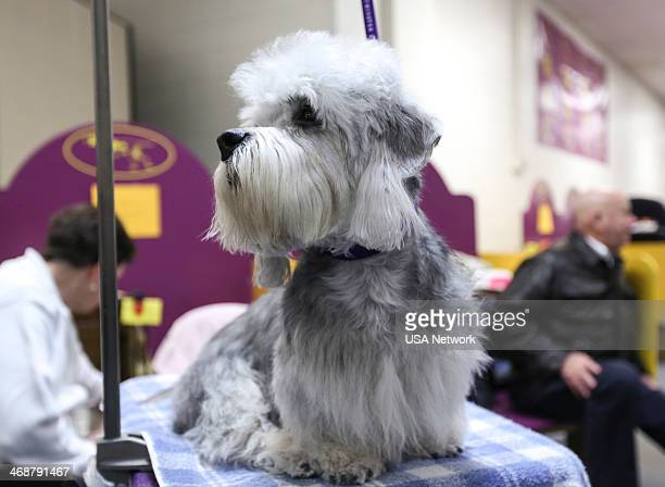 "The 138th Annual Westminster Kennel Club Dog Show"" -- Pictured: Dandie Dinmont Terrier backstage at Madison Square Garden in New York City on Monday,..."