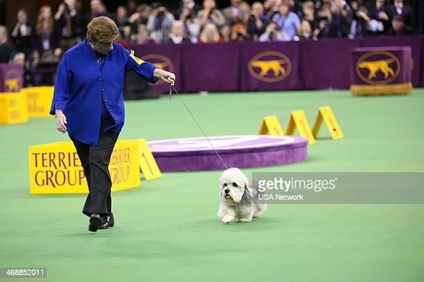 "The 138th Annual Westminster Kennel Club Dog Show"" -- Pictured: Dandie Dinmont Terrier at Madison Square Garden in New York City on Monday, February..."