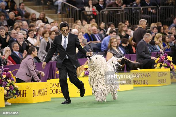 SHOW 'The 138th Annual Westminster Kennel Club Dog Show' Pictured Komondor at Madison Square Garden in New York City on Monday February 11 2014 Photo...