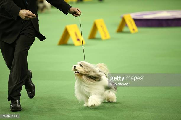 """The 138th Annual Westminster Kennel Club Dog Show"""" -- Pictured: Lhasa Apso at Madison Square Garden in New York City on Monday, February 10, 2014 --"""