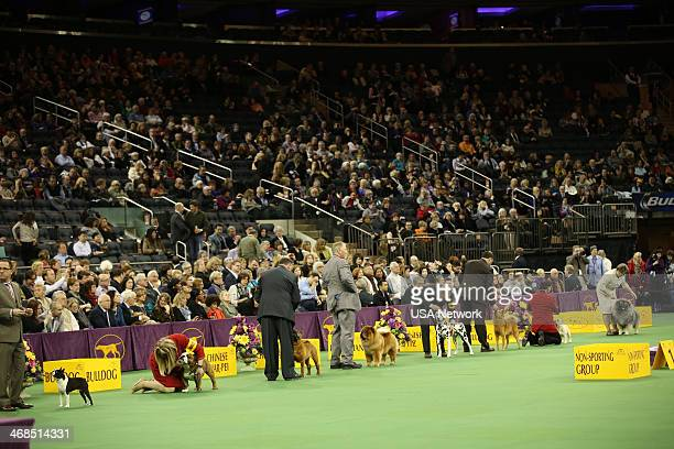 SHOW The 138th Annual Westminster Kennel Club Dog Show Pictured NonAporting line up Boston Terrier Bulldog Chinese SharPei Chow Chow Dalmatian French...