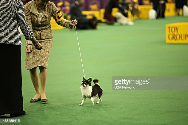 SHOW The 138th Annual Westminster Kennel Club Dog Show Pictured Long Haired Chihuahua at Madison Square Garden in New York City on Monday February 10...