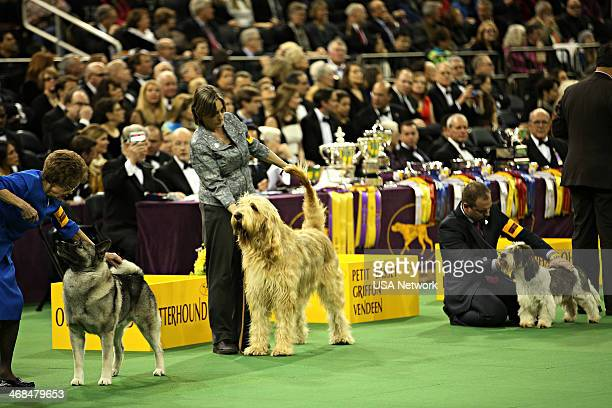 SHOW 'The 138th Annual Westminster Kennel Club Dog Show' Pictured Norwegian Elkhound Otterhound Petits Bassets Griffons Vendeen in the Hound line up...