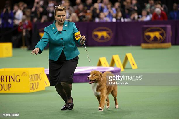 """The 138th Annual Westminster Kennel Club Dog Show"""" -- Pictured: Nova Scotia Duck Tolling Retriever at Madison Square Garden in New York City on..."""