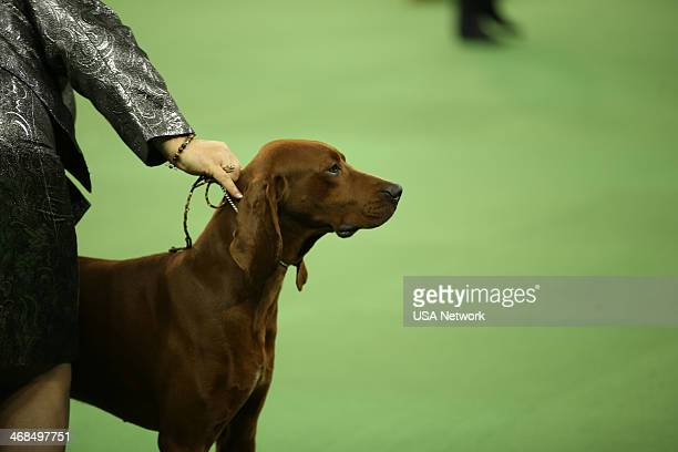 SHOW The 138th Annual Westminster Kennel Club Dog Show Pictured Redbone Coonhound at Madison Square Garden in New York City on Monday February 10 2014