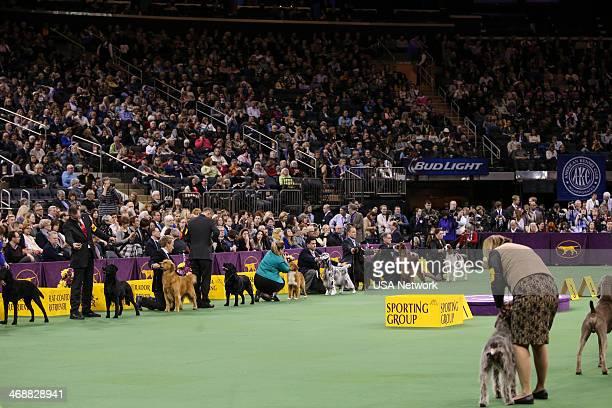 """The 138th Annual Westminster Kennel Club Dog Show"""" -- Pictured: Sporting line up Flat-Coated Retriever, Golden Retriever, Labrador Retriever, Nova..."""