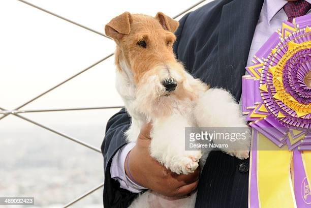 The 138th Annual Westminster Kennel Club Dog Show winner Sky a wire fox terrier visits The Empire State Building on February 12 2014 in New York City