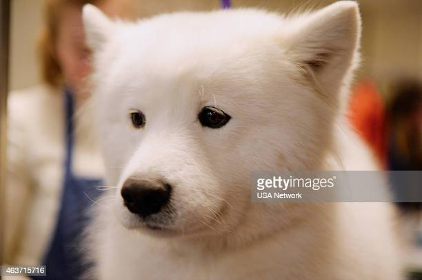 SHOW 'The 139th Annual Westminster Kennel Club Dog Show' at Madison Square Garden in New York City on Tuesday February 17 2014 Pictured Samoyed
