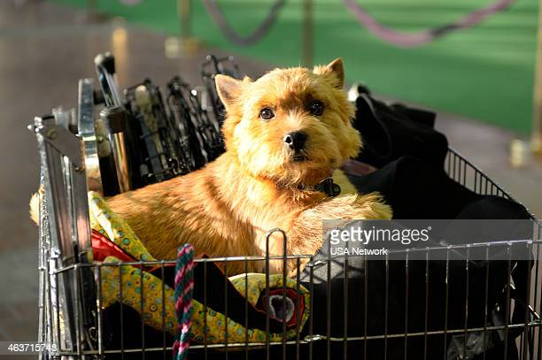 """The 139th Annual Westminster Kennel Club Dog Show"""" at Madison Square Garden in New York City on Tuesday, February 17, 2014 -- Pictured: Norfolk..."""