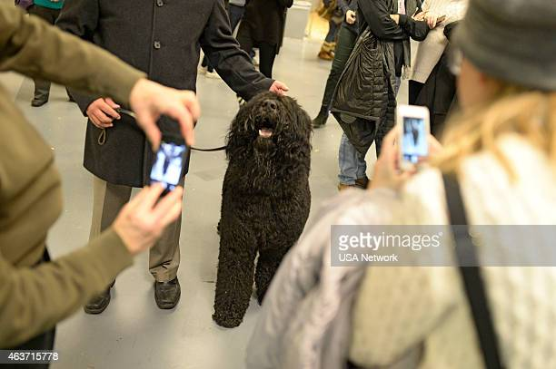 SHOW The 139th Annual Westminster Kennel Club Dog Show at Madison Square Garden in New York City on Tuesday February 17 2014 Pictured Bouvier des...