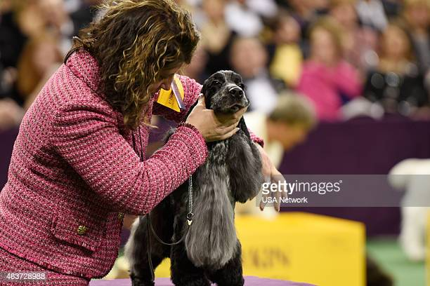 SHOW 'The 139th Annual Westminster Kennel Club Dog Show' at Madison Square Garden in New York City on Tuesday February 17 2014 Pictured English...