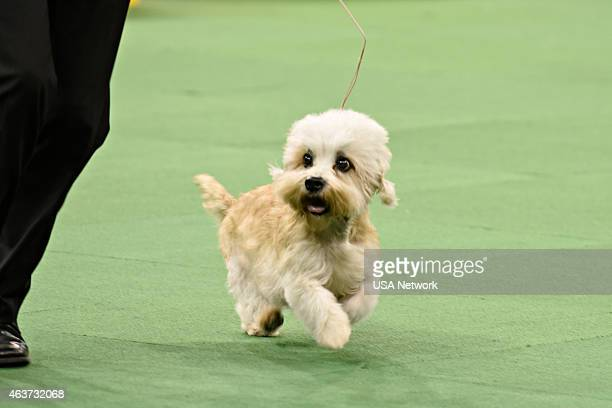"The 139th Annual Westminster Kennel Club Dog Show"" at Madison Square Garden in New York City on Tuesday, February 17, 2014 -- Pictured: Dandie..."