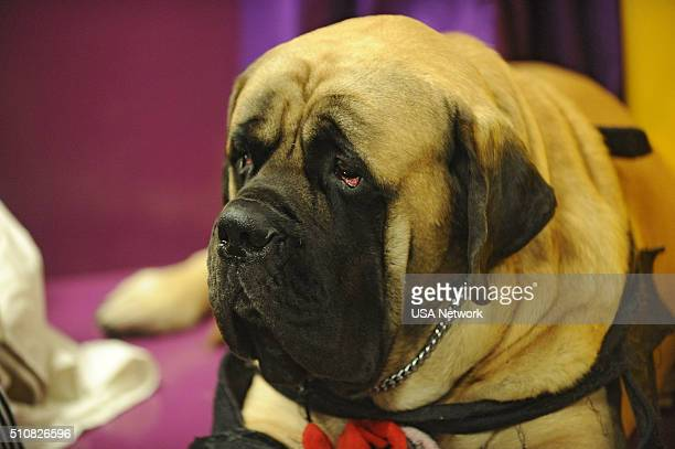 SHOW The 140th Annual Westminster Kennel Club Dog Show at Madison Square Garden in New York City on Tuesday February 16 2016 Pictured Bull Mastiff