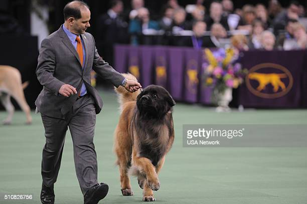 SHOW The 140th Annual Westminster Kennel Club Dog Show at Madison Square Garden in New York City on Tuesday February 16 2016 Pictured Leonberger