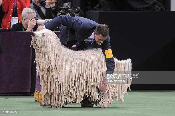 SHOW 'The 140th Annual Westminster Kennel Club Dog Show' at Madison Square Garden in New York City on Tuesday February 16 2016 Pictured Komondor