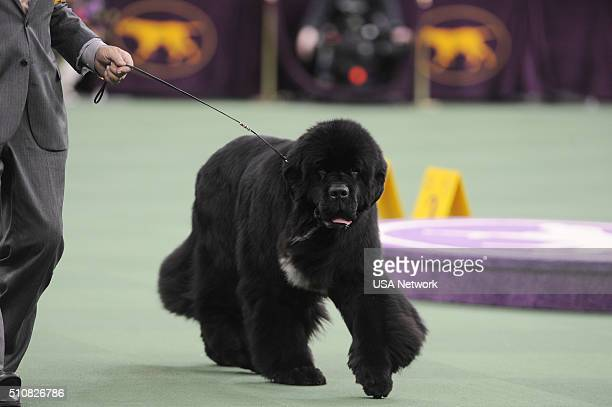 SHOW The 140th Annual Westminster Kennel Club Dog Show at Madison Square Garden in New York City on Tuesday February 16 2016 Pictured Newfoundland