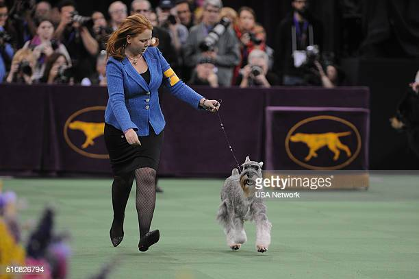 SHOW The 140th Annual Westminster Kennel Club Dog Show at Madison Square Garden in New York City on Tuesday February 16 2016 Pictured Standard...
