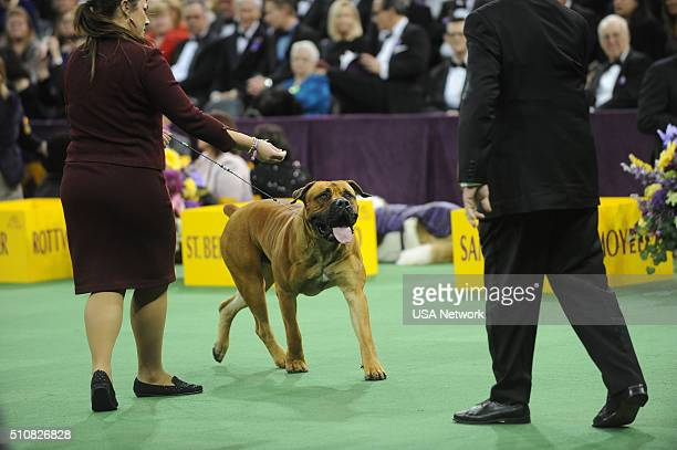 SHOW The 140th Annual Westminster Kennel Club Dog Show at Madison Square Garden in New York City on Tuesday February 16 2016 Pictured Boerboel