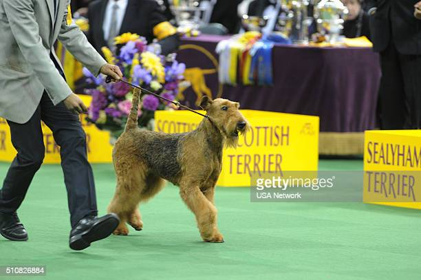 SHOW 'The 140th Annual Westminster Kennel Club Dog Show' at Madison Square Garden in New York City on Tuesday February 16 2016 Pictured Airedale...