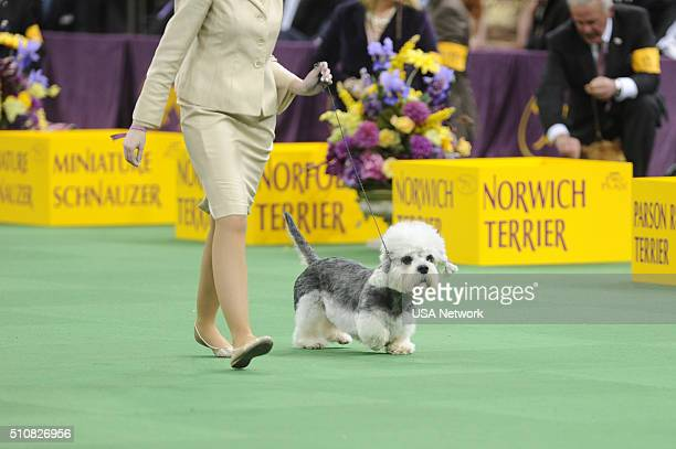 "The 140th Annual Westminster Kennel Club Dog Show"" at Madison Square Garden in New York City on Tuesday, February 16, 2016 -- Pictured: Dandie..."