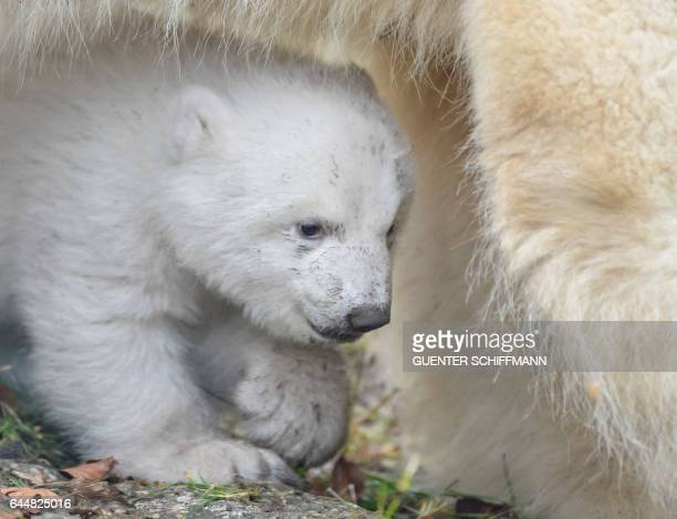 The 14weekold polar bear and mother Giovanna are pictured at the zoo Hellabrunn in the southern German city of Munich on February 24 2017 / AFP /...