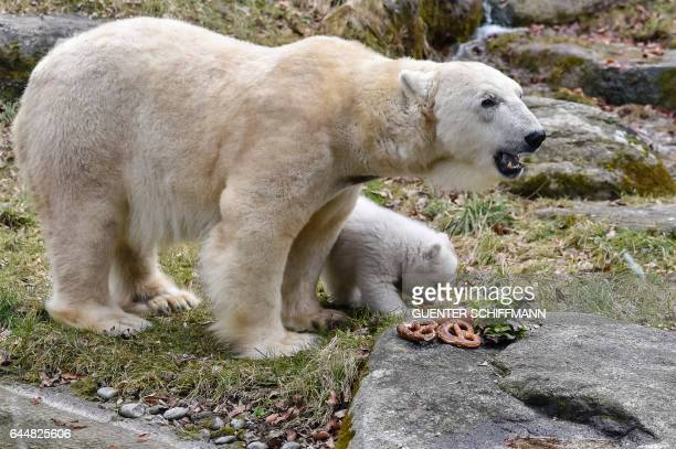 The 14weekold polar bear cub and mother Giovanna are pictured at the zoo Hellabrunn in the southern German city of Munich on February 24 2017 / AFP /...