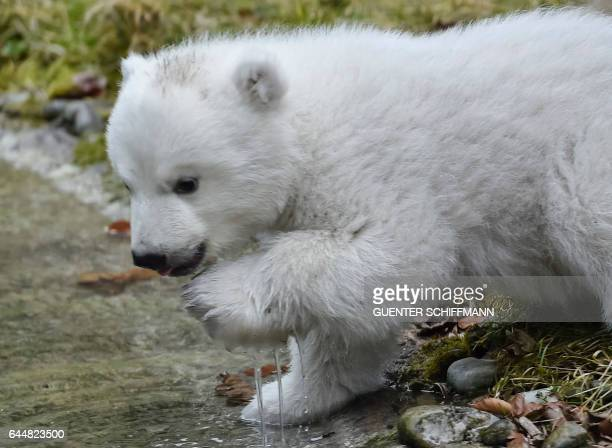 The 14weekold polar bear is pictured at the zoo Hellabrunn in the southern German city of Munich on February 24 2017 / AFP / GUENTER SCHIFFMANN