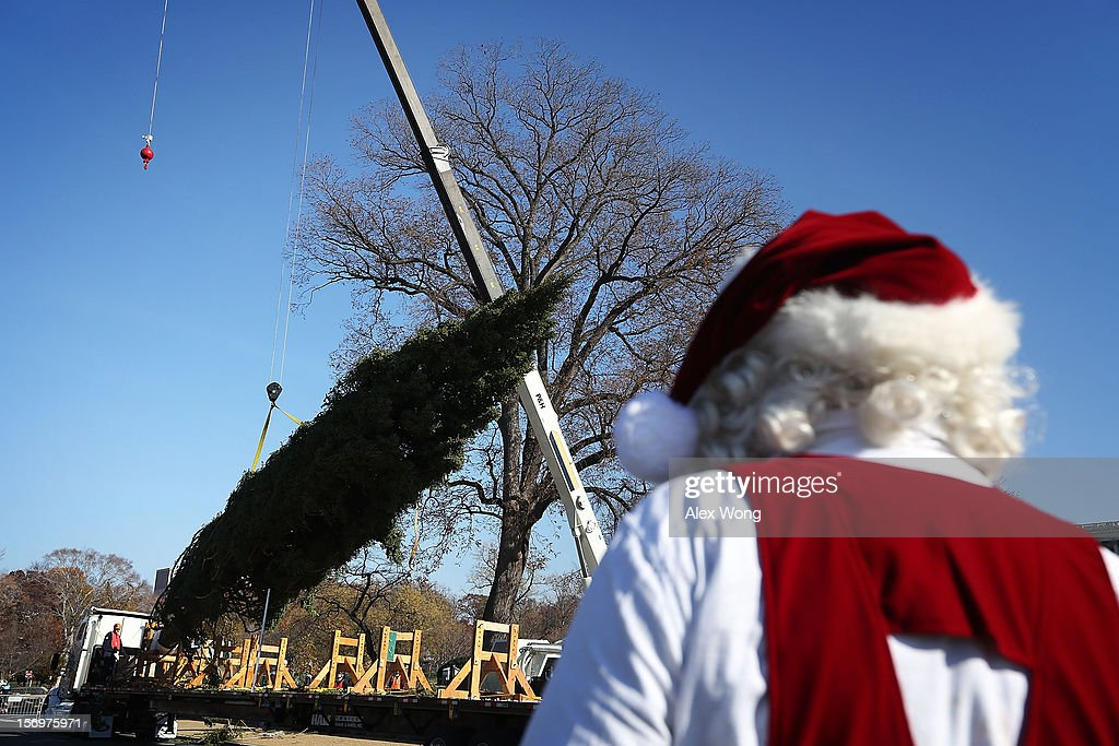 The 2012 U.S. Capitol Christmas Tree is unloaded from a tractor trailer by crew members of the Architect of the Capitol as a man dresses as Santa Claus looks on November 26, 2012 on Capitol Hill in Washington, DC. The year's tree is a 65-foot Engelmann spruce from the Blanco Ranger District of the White River National Forest in Colorado. The tree will be lit by Speaker of the House Rep. John Boehner (R-OH) during a ceremony on December 4.