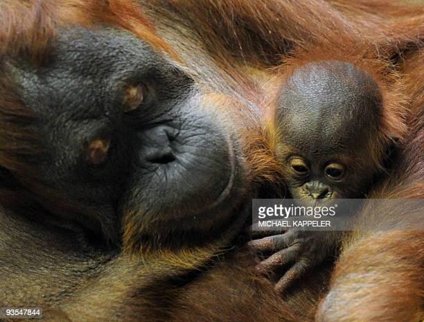 The 29yearsold Sumatran Orangutan female Bini holds her 10weeksold baby Bulan in her arms in the zoo of Berlin on November 27 2009 The orangutan baby...