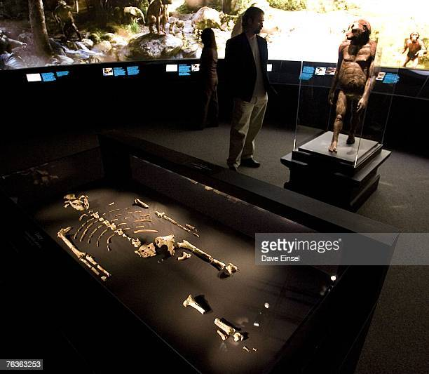 The 32 million year old fossilized remains of Lucy the most complete example of the hominid Australopithecus afarensis is displayed at the Houston...