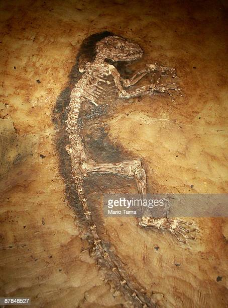 The 47 million year old fossilized remains of a primate is seen at the American Museum of Natural History May 19 2009 in New York City Ida is the...