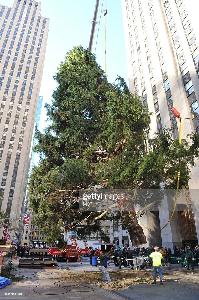 The 74-foot tall Rockefeller Center Christmas Tree is put into place... News Photo - Getty Images