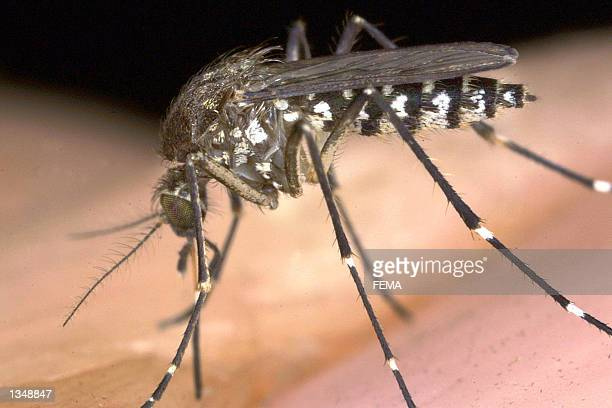 The a female mosquito prepares to bite the photographer's hand at Everglades National Park August 12 2002 in Flamingo Florida The female bugs use the...