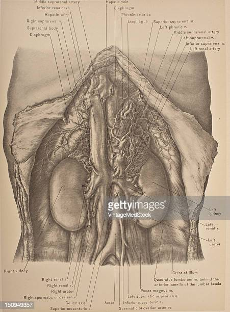 the abdominal aorta is the largest artey in the abdominal cavity