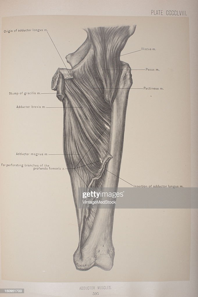 The Adductor Muscles Which Include The Pectineus Gracilis