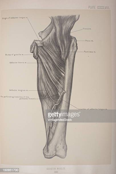 Gracilis Muscle Stock Photos and Pictures | Getty Images