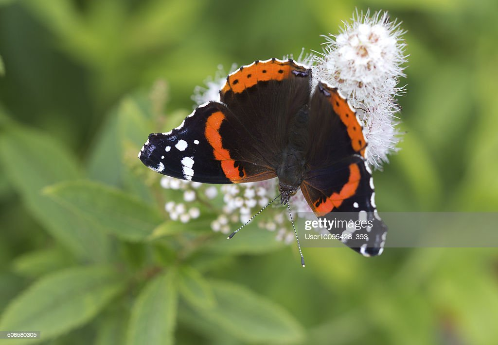 The Admiral butterfly (Vanessa atalanta) : Stock Photo
