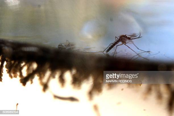 The Aedes Aegypti mosquito is photographed in a lab at the Ministry of Health of El Salvador in San Salvador on February 7 2016 Health authorities...