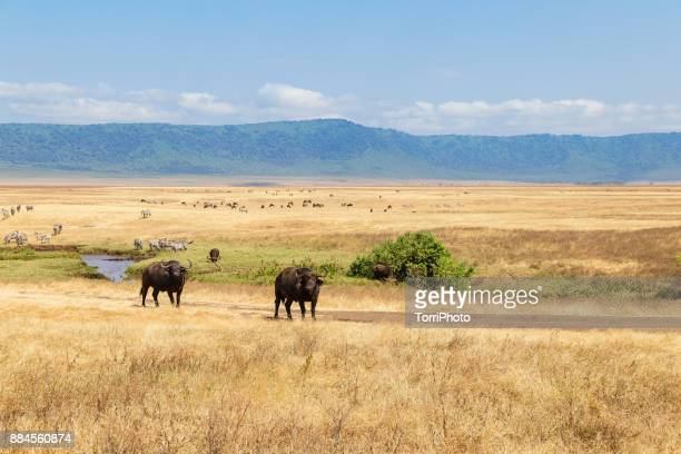 the african buffalo or cape buffalo (syncerus caffer) in meadow at ngorongoro conservation area - arusha national park stock photos and pictures