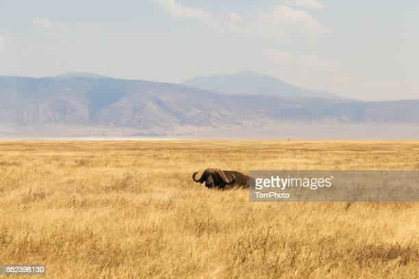 the african buffalo or cape buffalo (syncerus caffer) lies in meadow at ngorongoro conservation area - arusha national park stock photos and pictures
