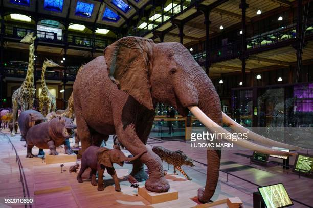 """The """"African Caravan"""" of naturalized animal specimen from the collection of the French National Museum of Natural History is pictured in the museum's..."""