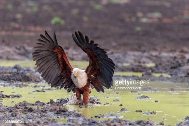 The African fish eagle catching a fish, using its large talons and broad wingspan. Kanga Pan, Mana Pools National Park, Zimbabwe