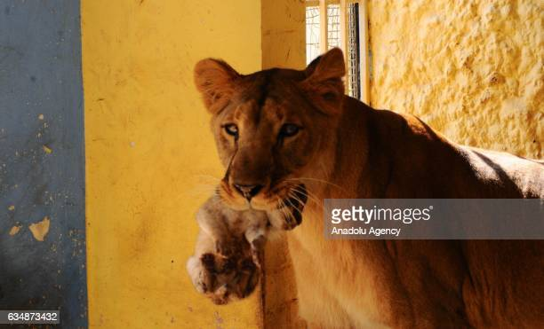 MULTAN PAKISTAN FEBRUARY 12 The African lioness named Rani or Queen holds her newly born cub with her mouth at a private farmhouse in Multan Pakistan...