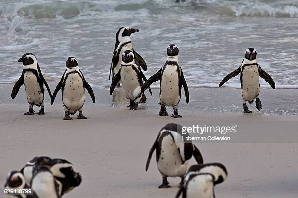 The African penguin , also known as the jackass penguin and black-footed penguin is a species of penguin, confined to southern African waters....