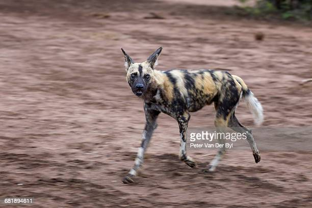 the african wild dog, lycaon pictus, also known as the painted dog because of the animals colouring which features patches of black, brown, white, red and yellow fur. each animal has a unique coat pattern - colouring bildbanksfoton och bilder
